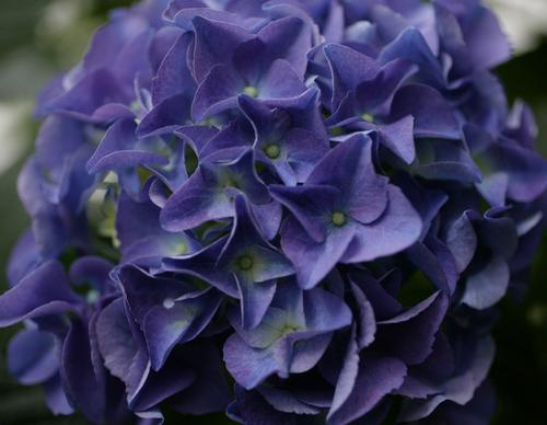 秋色紫陽花3.jpg